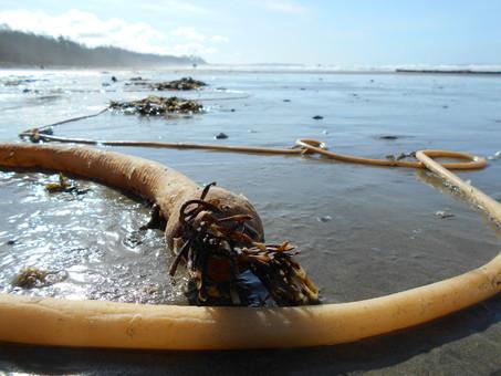 Beach walk & Bull Kelp talk