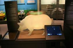돼지동물모형 투명