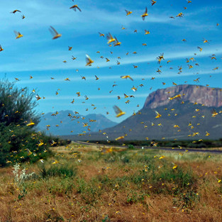 Locust Invasion Hits Horn Of Africa