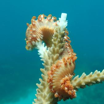 Coral predators on Staghorn Acropora cer