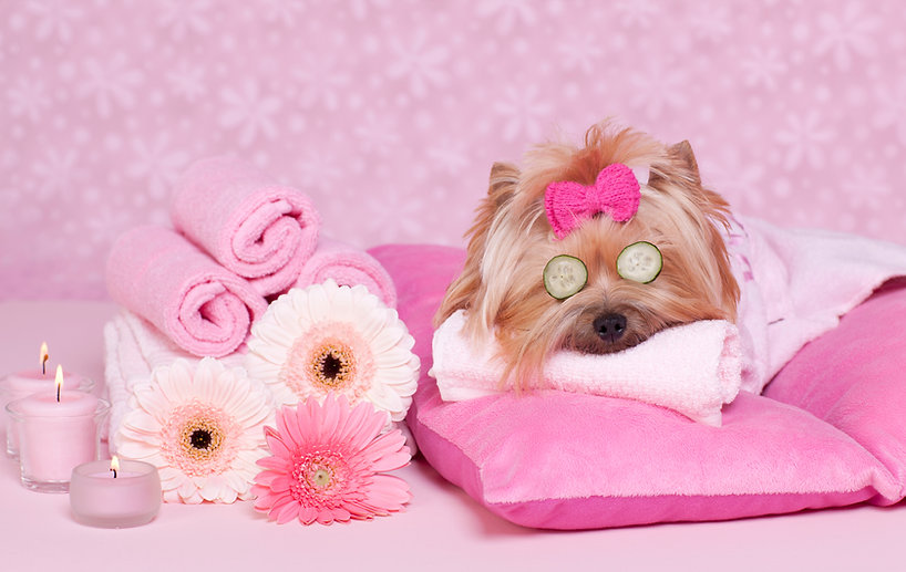 Pampered puppy, no stress grooming, yorkie