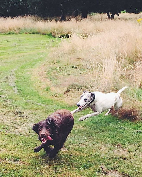 Whippet cross and they both had an awesome time ! 😄#love #dogs #fun #park #dogwalk #s