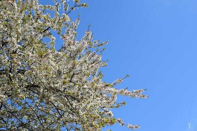 arbres en fleurs Natacha Doleux (Copier)