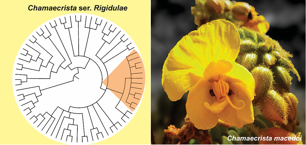 A molecular phylogeny of Chamaecrista series Rigidulae reveals a recent and polyphyletic group endemic of Brazilian savannas