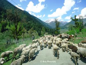 flock of sheep with Gaddis