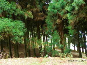 Forests in Kalimpong