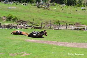 Sleeping horses of Aru