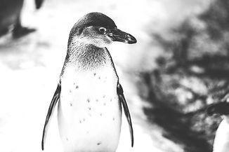 Penguin in Snow_edited.jpg