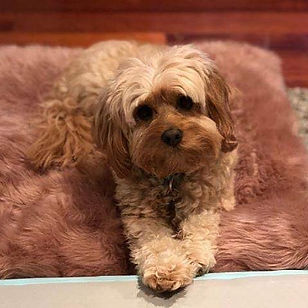 Beautiful Ruby #toycavoodle #cavoodle #d