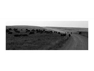 Bison – Osage County, Oklahoma