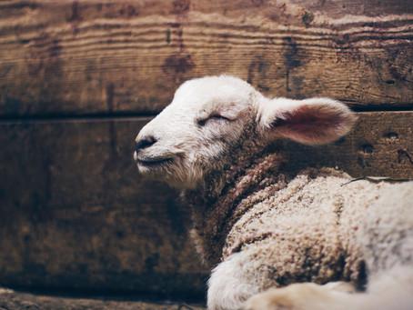 A Lamb for a Saviour