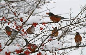 robins in snow.jpg