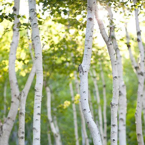 White Birch All Natural Candle