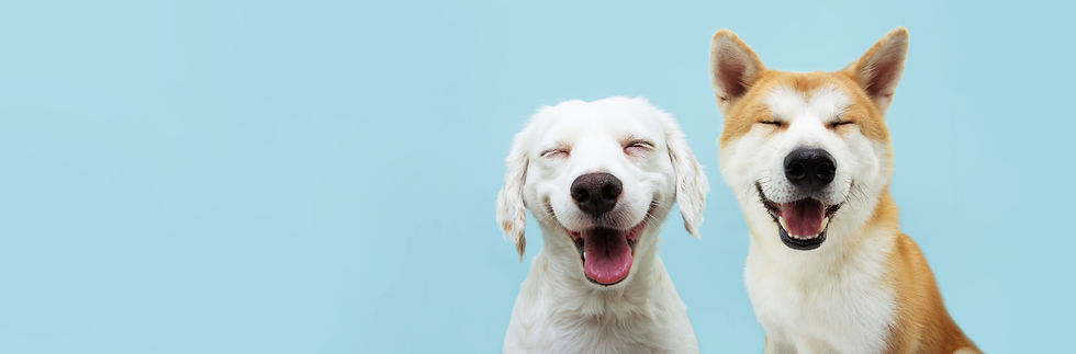Banner two smiling dogs with happy expression. and closed eyes. Isolated on blue colored b