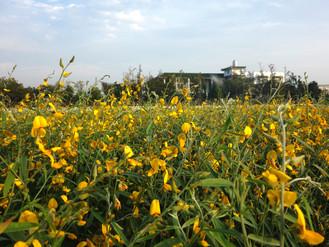 遇見太陽麻的黃花