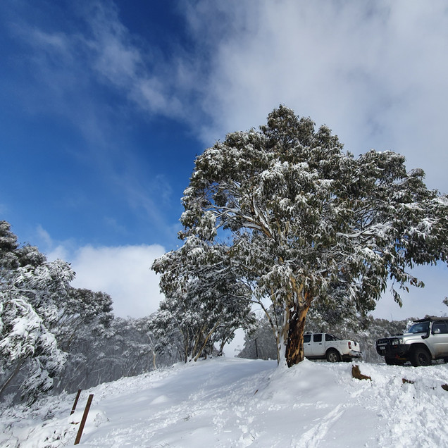 snow gum on mount terrible no access fee 4wd