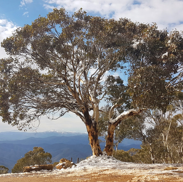 stunning gumtree in snow victoria australia no access fee