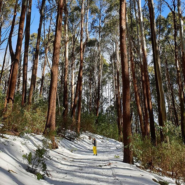 snow shoes walking mt stirling alpine resort between gum trees
