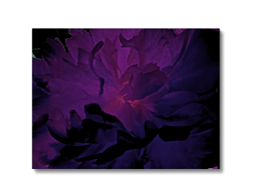 Purple Peony Canvas