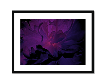 Purple Peony Framed and Mounted Print