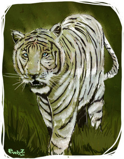 tigre-blanc-evelyz