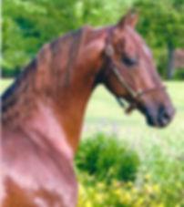 santana's tropical heat wave american saddlebred stallion