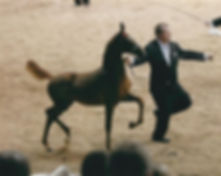 american saddlebred weanling