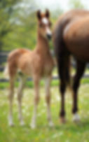 saddlebred foal and mare