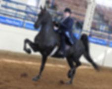 american saddlebred training