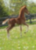american saddlebred foal
