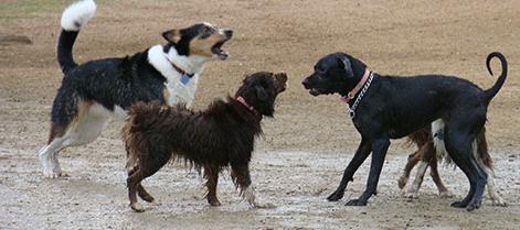 Comprendre l'agression entre chiens dans les parcs canins !