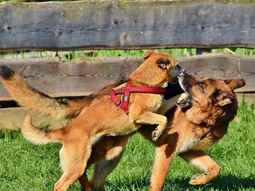 Le jeu ; comment savoir si votre chien joue bien avec les autres?