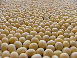 soybeans.jpg