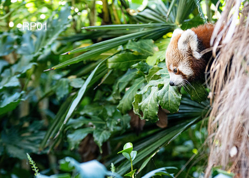 Red Panda Cub - Colchester Zoo Print - A3 Poster (Multiple Photo Options)