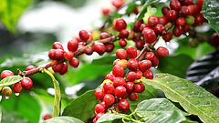 Coffee plant with coffee cherries