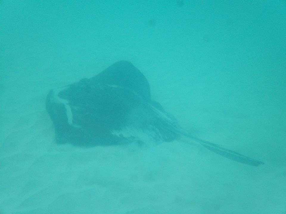 STINGRAY WHILE SNORKELLING
