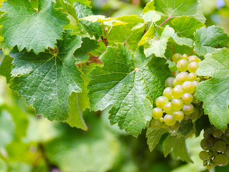 The Amazing Story of Riesling Wine