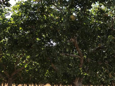 Pistachios, grapes and sunshine