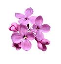 drawing-of-family-lilac-flower-color-lil