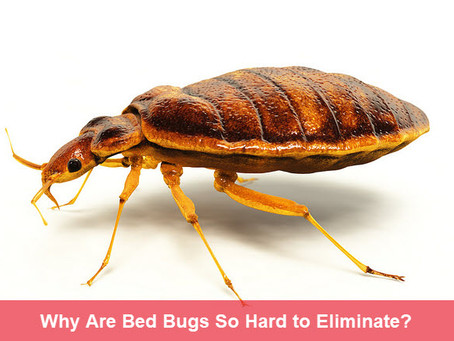 Why Is It So (DAMN) Hard to Get Rid of Bed Bugs?