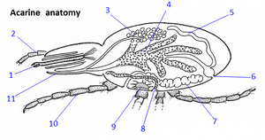 anatomy of mites