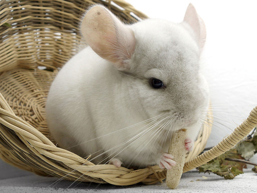 10 Reason Why NOT to Gift a Pet Chinchilla