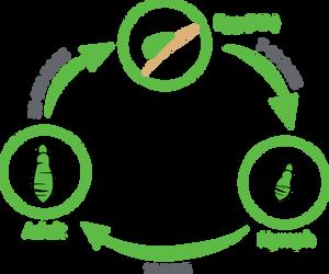 head lice life cycle