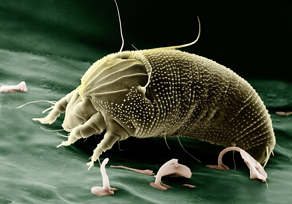 image of a mite