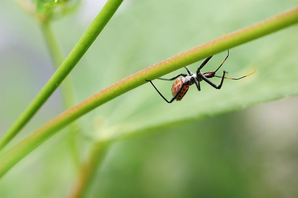 black widow spider on leaf dangerous