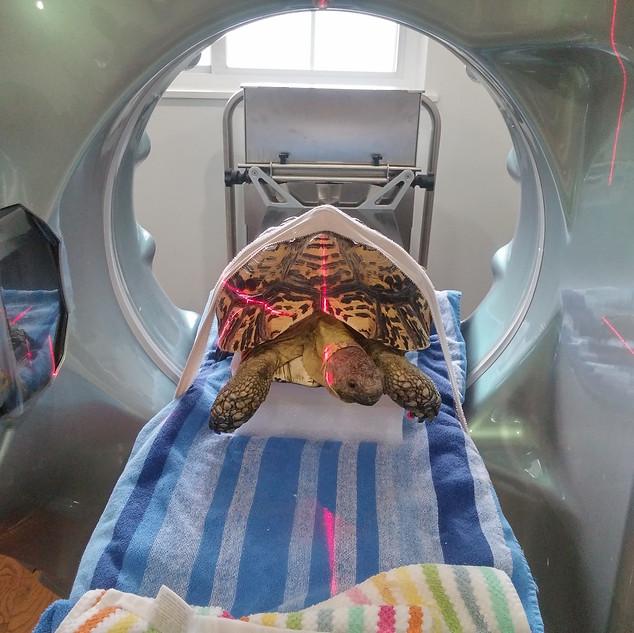 Pet tortoise receives Fluoroscopy scan at exotic pet vet new york