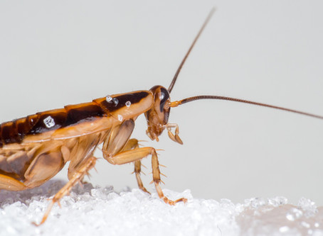 Meet the Toughest Insect on the Planet: The Cockroach