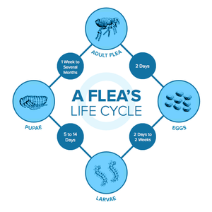 lifecycle of a flea from Sterifab bed bug spray