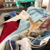 exotic vet give anesthesia to fox new york