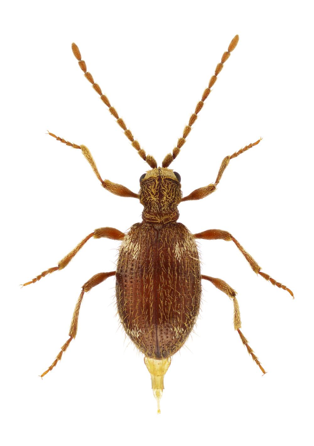 Female of Ptinus villiger, spider beetle